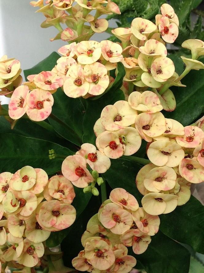 Euphorbia millii - Page 2 Mili410