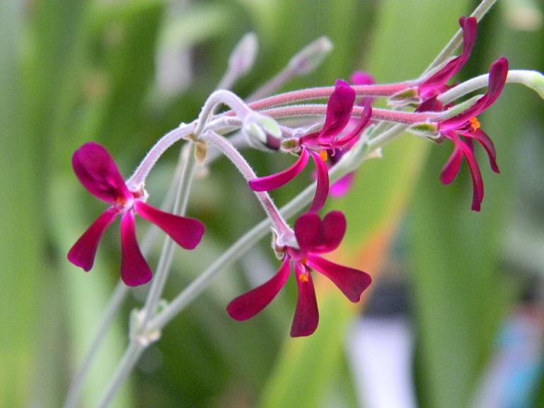 Pelargonium sidoides Pelarg10