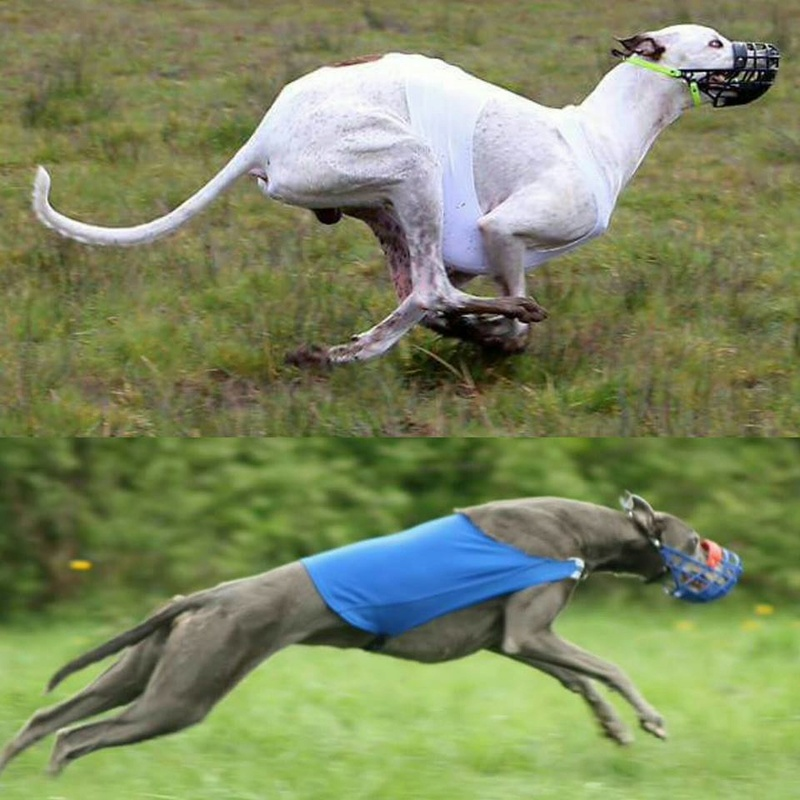 "chiots greyhound chez l""elevage Christcile's .. 14317410"