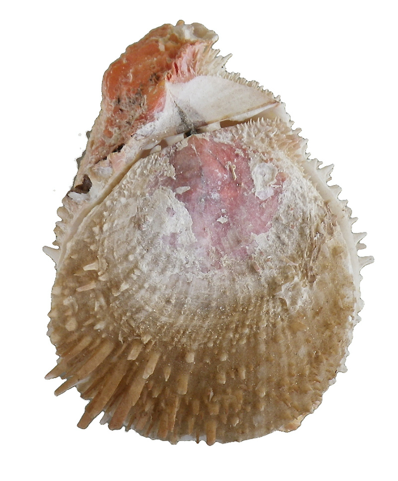 Spondylus varius - G. B. Sowerby I, 1827  Imgp0314