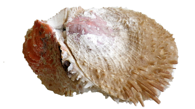 Spondylus varius - G. B. Sowerby I, 1827  Imgp0315