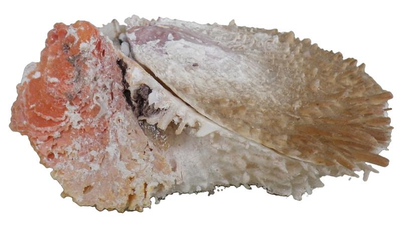 Spondylus varius - G. B. Sowerby I, 1827  Imgp0316