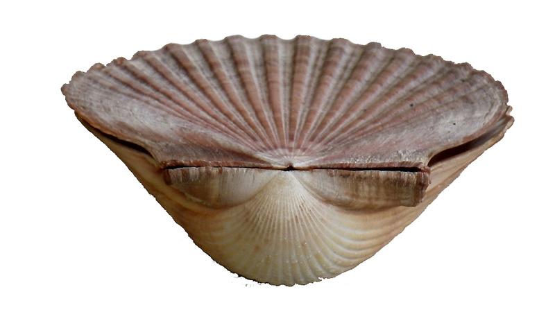 Pecten jacobaeus - (Linnaeus, 1758)  Imgp0318