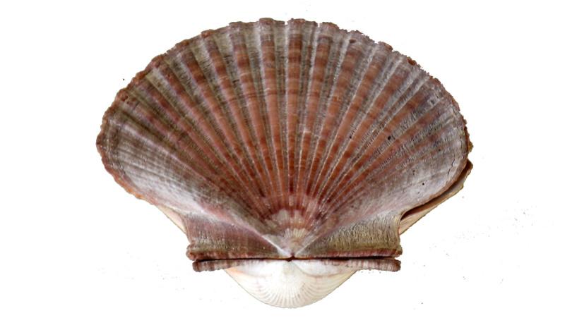 Pecten jacobaeus - (Linnaeus, 1758)  Imgp0319