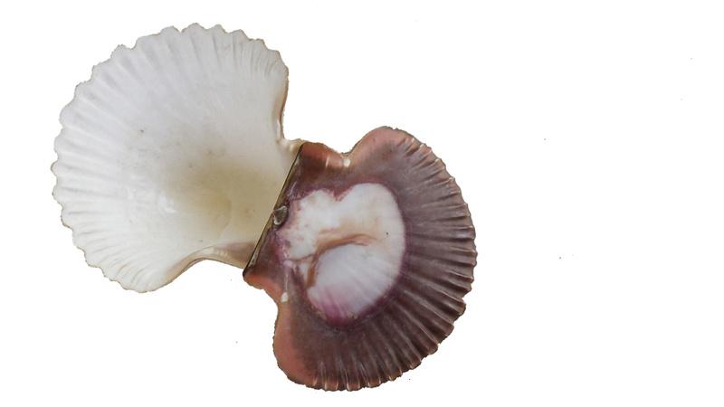 Pecten jacobaeus - (Linnaeus, 1758)  Imgp0320