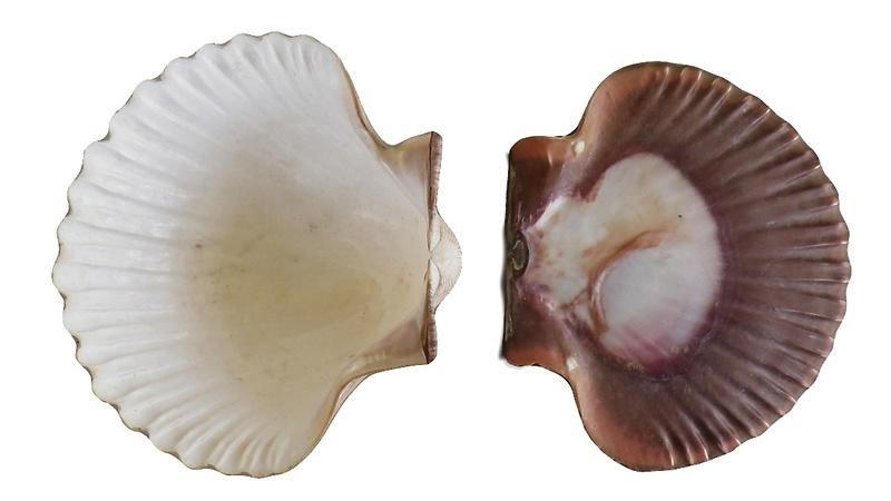 Pecten jacobaeus - (Linnaeus, 1758)  Imgp0321