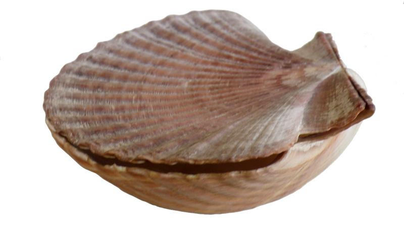 Pecten jacobaeus - (Linnaeus, 1758)  Imgp0324