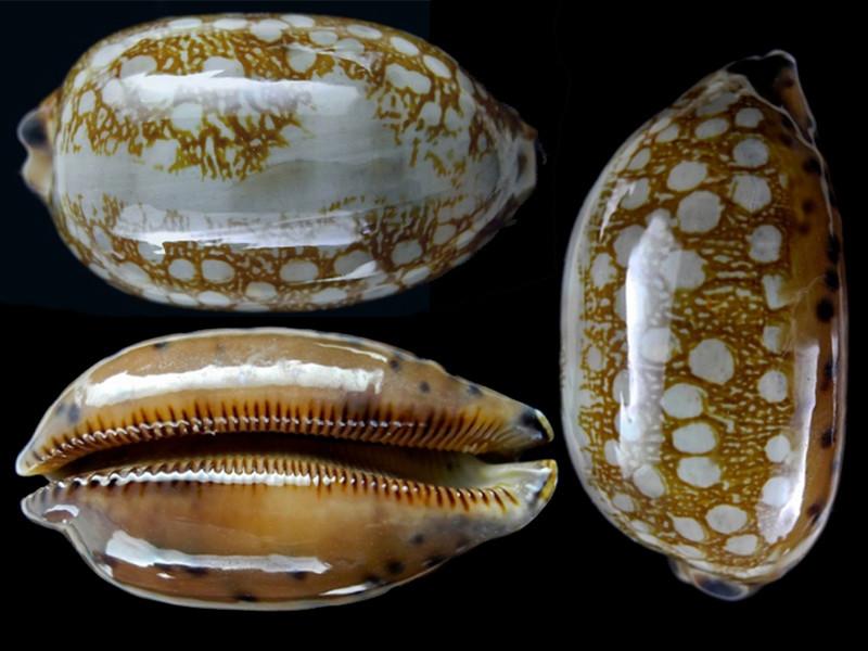 Mauritia scurra indica f. vono - (Staeman & Cotton, 1943) voir Mauritia scurra scurra - (Gmelin, 1791) Maurit10