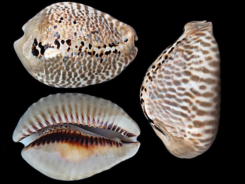 Muracypraea mus donmoorei - Petuch, 1979  Muracy10