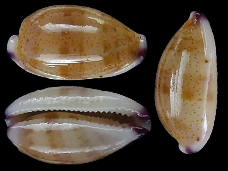 Purpuradusta microdon microdon - (J.E. Gray, 1828) Purpur11