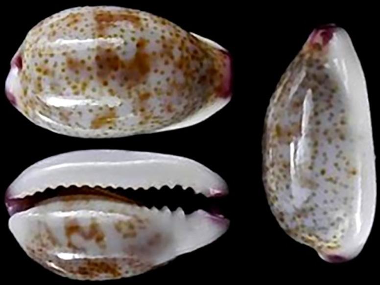 Purpuradusta fimbriata marquesana - Lorenz, 2002 Purpur14