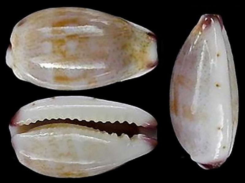 Purpuradusta fimbriata unifasciata - (Mighels, 1845) voir Purpuradusta fimbriata marmorata - (Schröter, 1804) Purpur15