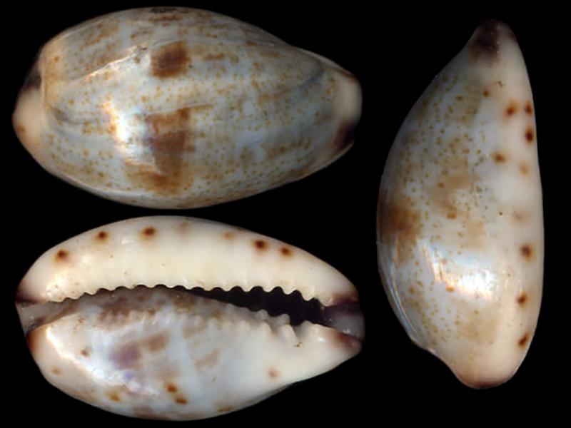 Purpuradusta gracilis gracilis - (Gaskoin, 1849) Purpur16