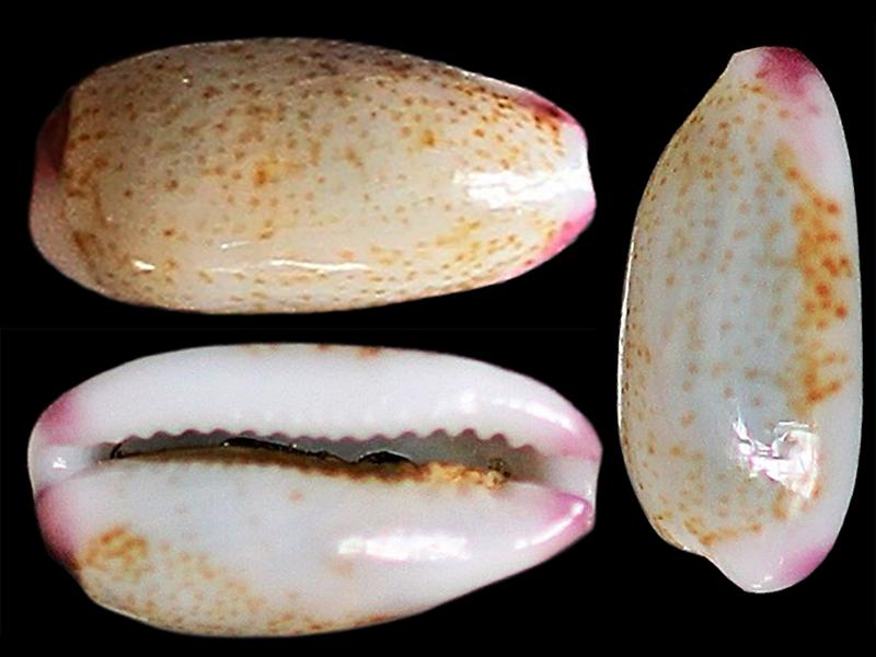 Purpuradusta oryzaeformis - Lorenz & Sterba, 1999 Purpur19