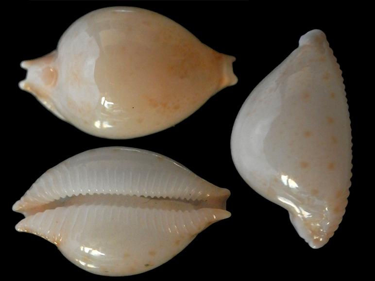 Pustularia margarita - (Dillwyn, 1817) Pustul12