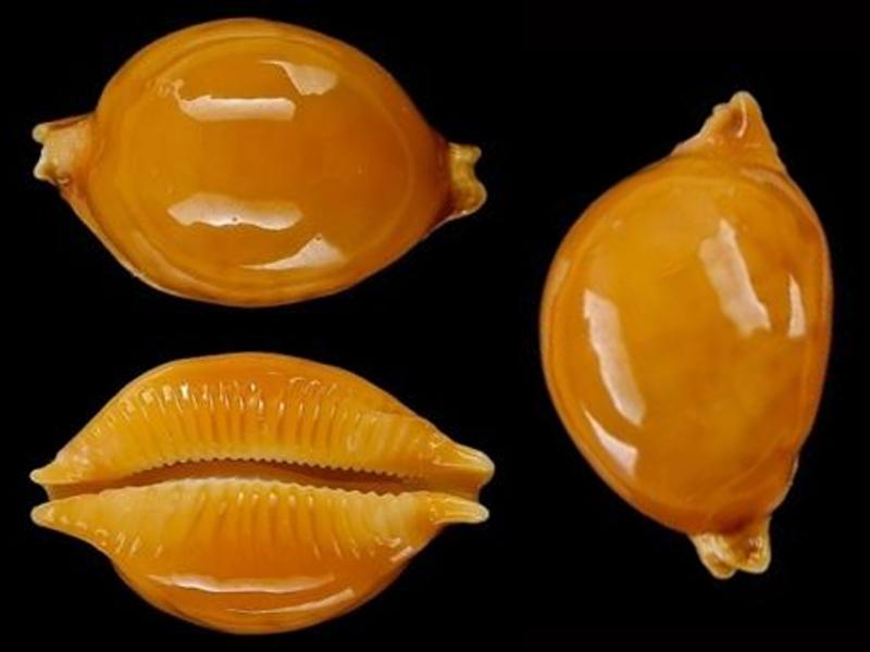 Pustularia globulus globulus - (Linnaeus, 1758) Pustul13