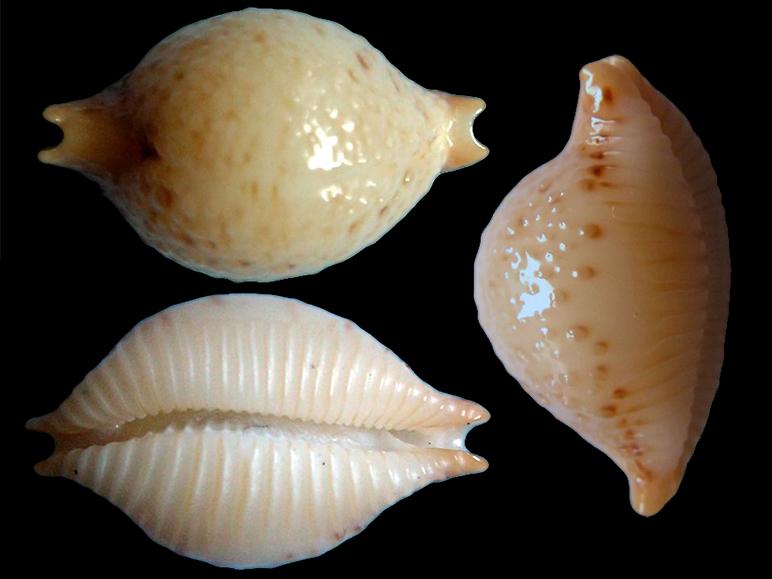 Pustularia cicercula lienardi - (Jousseaume, 1874) voir Pustularia cicercula tricornis - (Jousseaume, 1874) Pustul15