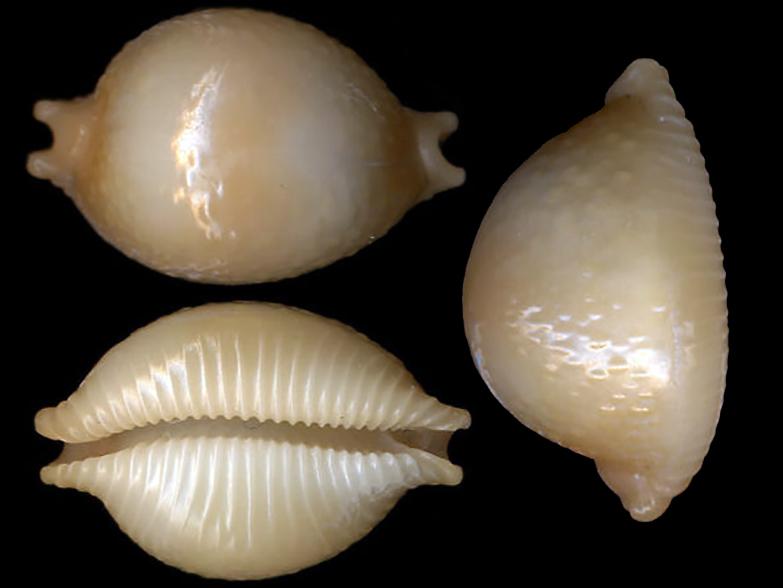 Pustularia chiapponii beatricae - Lorenz, 2014 Pustul16