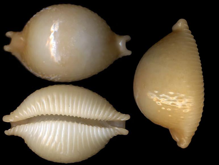 Pustularia chiapponii beatricae - Lorenz, 2014 Pustul17