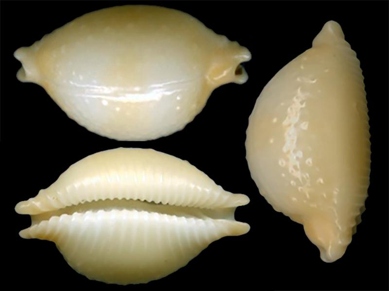Pustularia chiapponii - Lorenz, 1999 Pustul18