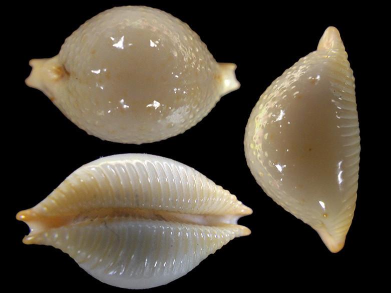 Pustularia cicercula tricornis - (Jousseaume, 1874) Pustul19