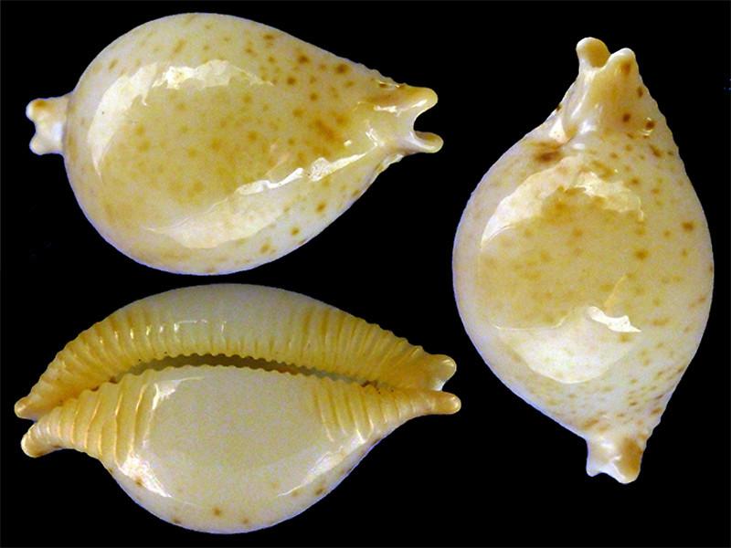 Pustularia cicercula tuamotensis - Lorenz, 1999 Pustul21