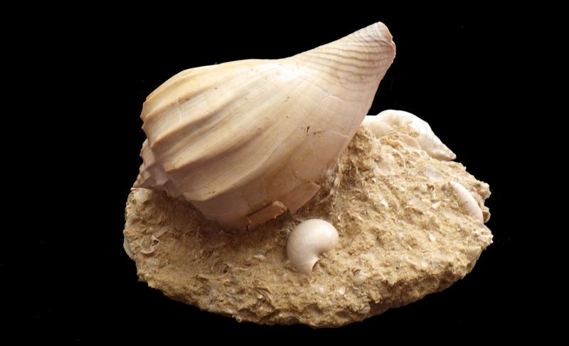 Volutidae - † Athleta (Volutopupa) citharoedus (Holten, 1802) - Lutécien (Damery 51) Rimg0345