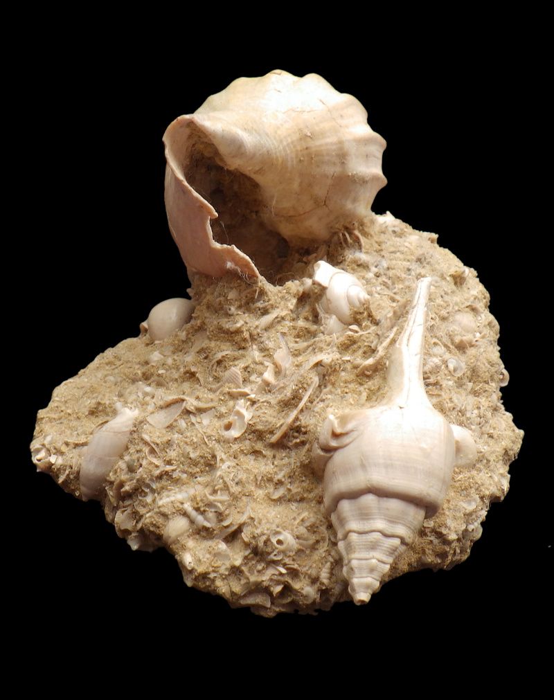 Volutidae - † Athleta (Volutopupa) citharoedus (Holten, 1802) - Lutécien (Damery 51) Rimg0346