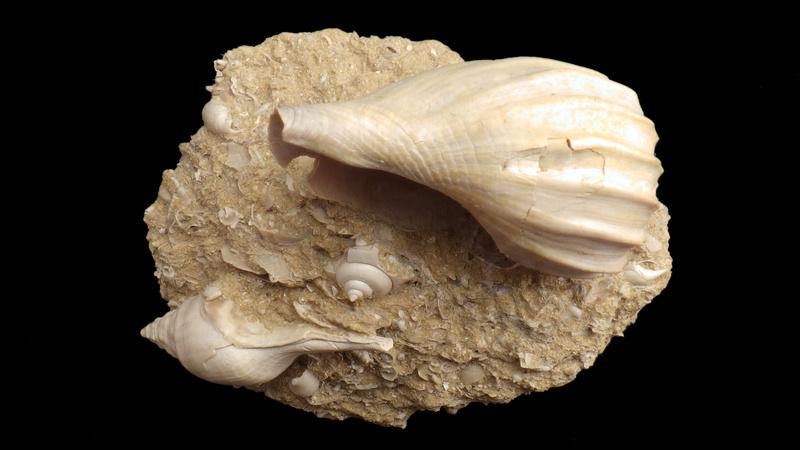 Volutidae - † Athleta (Volutopupa) citharoedus (Holten, 1802) - Lutécien (Damery 51) Rimg0347