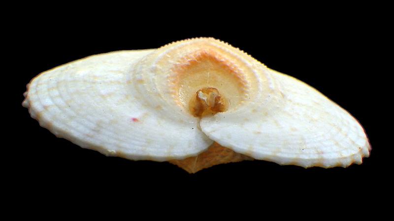 Corculum cardissa - (Linnaeus, 1758)  Rimg0413
