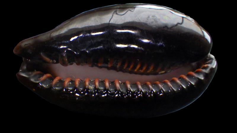 Erronea onyx draco - Bergonzoni, 2013 Rimg0417