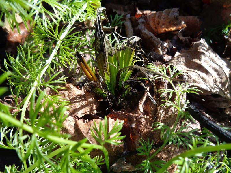 Molineria crassifolia (= Curculigo crassifolia) - palm grass Curcul10