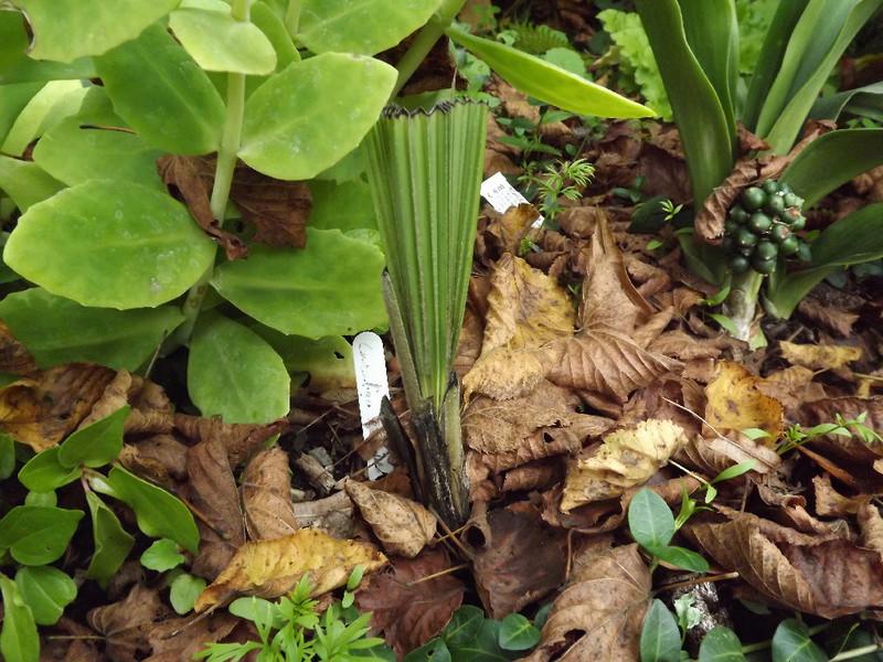 Molineria crassifolia (= Curculigo crassifolia) - palm grass Curcul12