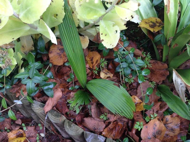 Molineria crassifolia (= Curculigo crassifolia) - palm grass Img_2218