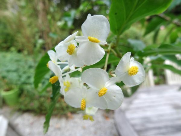Begonia undulata Begoni10