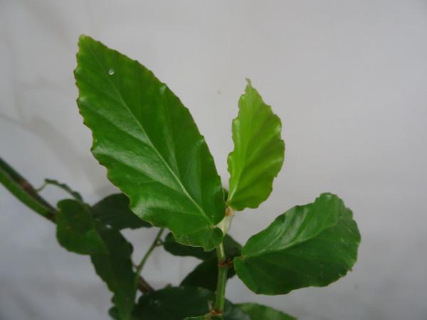 Begonia undulata Begoni11