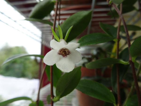 Codonanthe gracilis Codona10
