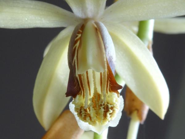 Coelogyne tomentosa (= Coelogyne massangeana) Coelog10