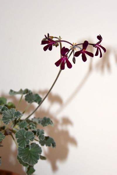 Pelargonium sidoides Pelarg12