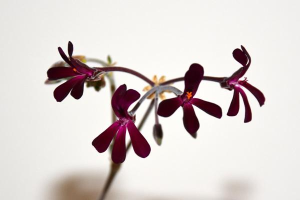 Pelargonium sidoides Pelarg13