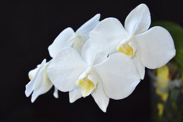 Phalaenopsis aphrodite Phal_a10