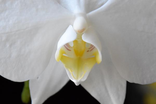 Phalaenopsis aphrodite Phal_a11
