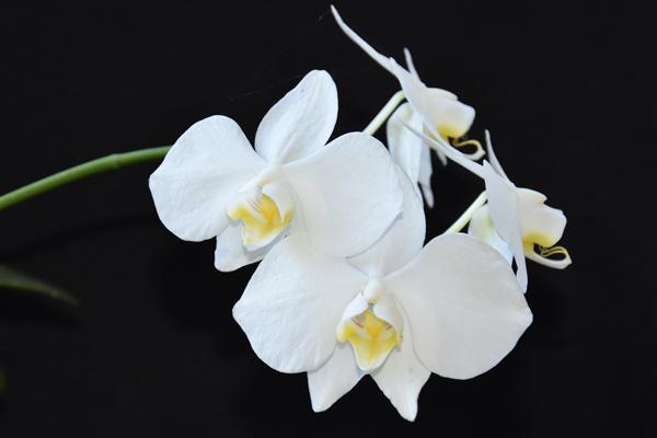Phalaenopsis aphrodite Phal_a12