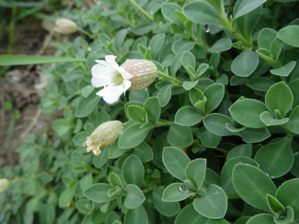 Silene uniflora ssp uniflora - silène maritime  Silyne11