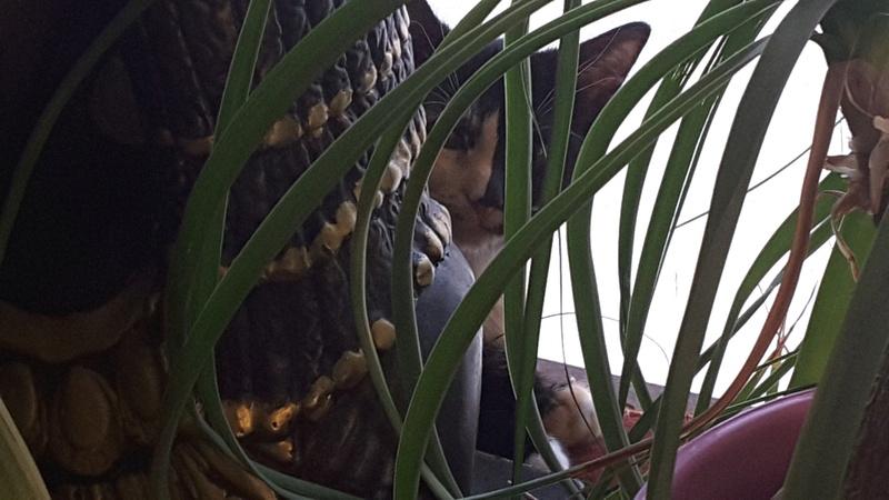 ONDINE, adorable chatonne écaille de tortue de 2 mois 20160810