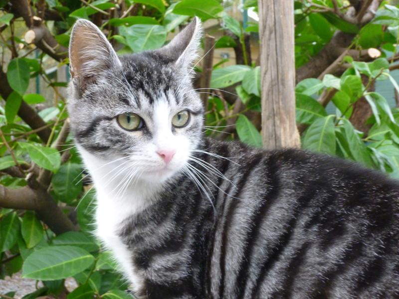 BANDIT BIS, splendide chaton mâle de 5 mois P1030712
