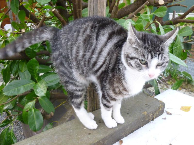 BANDIT BIS, splendide chaton mâle de 5 mois P1030713