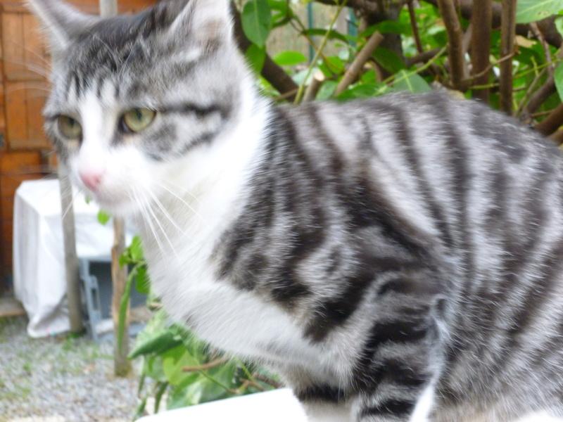 BANDIT BIS, splendide chaton mâle de 5 mois P1030714