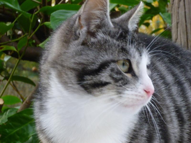 BANDIT BIS, splendide chaton mâle de 5 mois P1030715