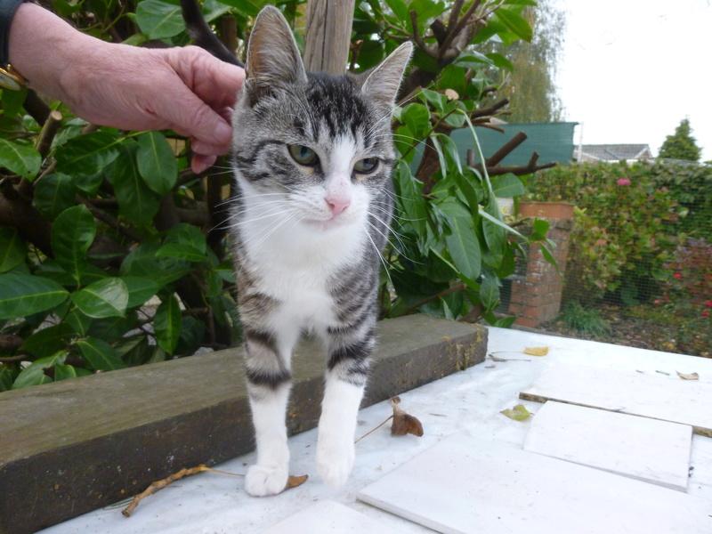 BANDIT BIS, splendide chaton mâle de 5 mois P1030717